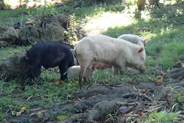 ubiquitous Tongan pigs