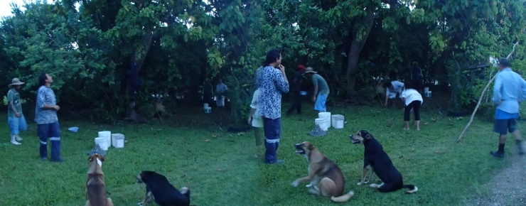 The boys shaking the tava fruit from the tree in our front garden